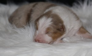 puppies_bowie_week2-3